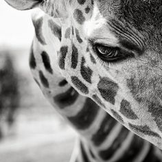 What an incredible image of a Giraffe!