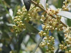 L'olivier, dont les fleurs ont été utilisées par le Dr Bach comme remède contre les maux réguliers et épuisants.