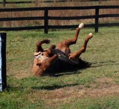 Why do horses roll?  Some ideas (some are scientific and others are totally random guesses)  http://www.proequinegrooms.com/index.php/tips/health-and-well-being/why-horses-roll-some-ideas/