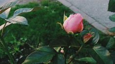 #rose Apple, Fruit, Rose, Nature, Apple Fruit, Pink, Roses, Naturaleza, The Great Outdoors