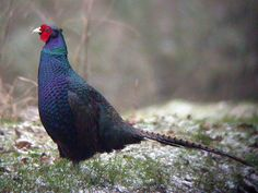 We're reared one of these beautiful pheasants in our avairy