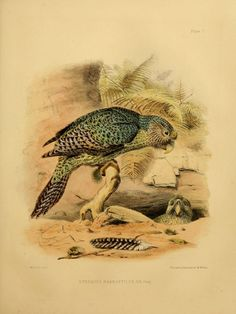 - 1844 - The zoology of the voyage of the H. Erebus & Terror, under the command of Captain Sir James Clark Ross, during the years by Sir John Richardson Historia Natural, Science Illustration, Kiwiana, Bird Artwork, Rare Birds, Kinds Of Birds, Antique Illustration, Zoology, Bird Prints