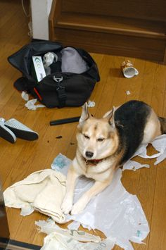 I'm just guarding the evidence...the cat did it.