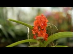 North American Orchid Conservation Center:  An orchestrated conservation efforts to preserve the fragile ecology and endangered orchids of North America.