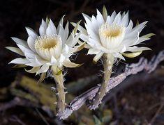night flowering cereus flowers.  Hoa quynh.