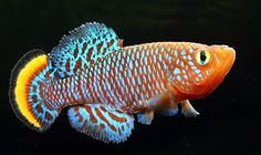 """aquariumwiki:    Rainbow Notho, Bluefin Notho (Nothobranchius rachovii)Nothobranchius rachovii is a species of freshwater annual killifish from Mozambique and South Africa. It can grow up to 6cm (2.4""""). It is popular among killifish enthusiasts, who raise them from eggs in aquaria."""