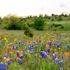 Bluebonnets & Wildflowers