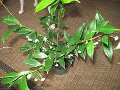 Hoya odorata (2).jpg