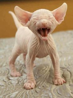 Someone from Alberta is cheating cat lovers by selling them shaved kittens. These shaved kittens were sold in the market as the hairless Sphynx cats. Animals And Pets, Baby Animals, Funny Animals, Cute Animals, Cute Kittens, Cats And Kittens, Animal Quotes, Animal Memes, Animal Humor