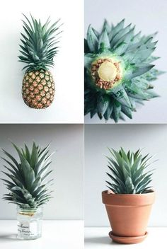 How to grow your own pineapple! It looks nice too :) - Diy Garden Projects Diy Garden, Garden Projects, Garden Plants, Garden Landscaping, Diy Projects, Smart Garden, Balcony Plants, Plant Projects, Garden Birds