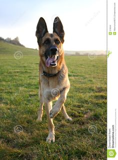 Art German Shepherd dogs-i-want-adorable-dog-pics Big Dogs, I Love Dogs, Cute Dogs, Dogs And Puppies, Doggies, German Shepherd Dogs, German Shepherds, Shepherd Puppies, Running Buddies
