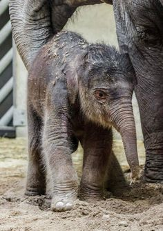 This baby Indian Elephant is the first ever born at Prague Zoo in it's 82 year history, thus making this already important birth even more special. See all the pictures on ZooBorns.com.