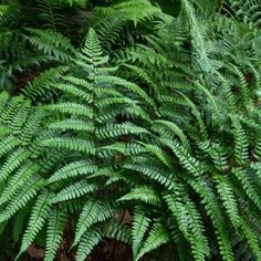 """Champion™s wood fern  (Dryopteris champiionii)  Mature Size: 24""""T x 24""""W  It shimmers year round in the woodlands and is one of the best for flaunting evergreen fronds above snow levels in winter.   Be patient as the new growth can be deceptively late in the spring. Excels in gardens from Zone 5 to 9.  Color: Deep Green  Type: Hosta Companion Plant"""