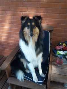 Amorwood's Joy n'Special: 8kk Rough Collie Puppy, Collie Puppies, Joy, Animals, Animales, Border Collie Pups, Animaux, Glee, Animal