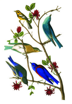 Audubon Birds app on sale. Plus lots of wonderful Audubon facts and prints.