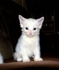 40 Best Turkish Angora Cat Breed Images Angora Cats Turkish