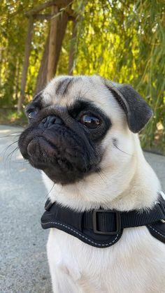 Cute Baby Pugs, Cute Pug Puppies, Super Cute Puppies, Fluffy Puppies, Pug Videos, Pug Gifs, Pug Love, Dog Memes, Cute Funny Animals
