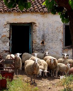 Sheep from the village of Armeni on the island of Crete_ Greece Lord Is My Shepherd, The Good Shepherd, Farm Animals, Cute Animals, Baa Baa Black Sheep, Counting Sheep, Creta, Sheep And Lamb, Sheep Farm