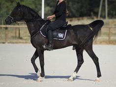 L'Arabe - Un cheval Arabe monté