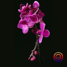 "4 Beğenme, 2 Yorum - Instagram'da @fotoselect (@fotoselect): ""#fotoselect #orkide #orchid #doğa #nature #makro #macro #cicekler #flowers #flowerstagram #iphoneX"""