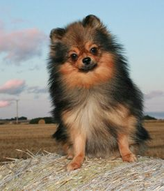 ~ Red Sable Pomeranian ~