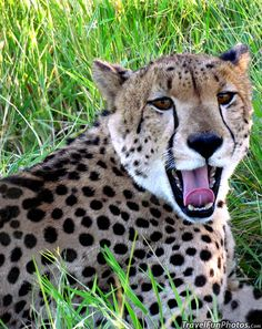 """Cheetah in South AfricA. """"(yawn), man I'm tired. What A Beautiful World, Beautiful Cats, Animals Beautiful, Cute Animals, All About Animals, Animals Of The World, I Love Cats, Big Cats, Cheetahs"""