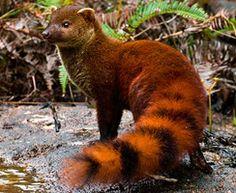 ring tailed mongoose