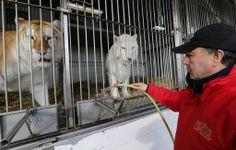 """Domador de animais dá água para tigres em uma gaiola no """"Arlette Gruss Circus"""", em Bordeaux, na França.  Foto: Regis Duvignau/Reuters"""