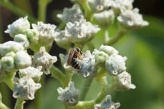 Removing Privet Helps Restore Native Bee Populations on Compass Live/Southern Research Station USDA