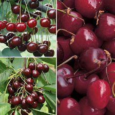 Dwarf cherry, for patio in large pot, with grafts of 3 different kinds of cherries: Stella, Sunburst, & Crown Morello, good for pies & jams.    http://www.thompson-morgan.com/fruit/fruit-trees/stone-fruit-trees/cherry-collection/cww3403TM