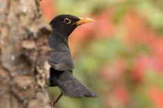Male Eurasian Blackbird, British garden birds