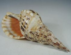 Japanese Vintage Conch Shell (Horagai (法螺貝) or Pacific Triton's Trumpet Ornament from the Many Faces of Japan