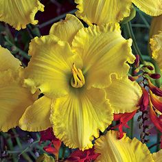 """'Ferengi Gold' daylily plant -- """"The perfect daylily for Star Trek fans (and… Very Beautiful Flowers, Beautiful Flowers Pictures, Flower Pictures, Lilies Of The Field, Bloom Where You Are Planted, Gardening Supplies, Day Lilies, Flower Seeds, Hydrangea"""