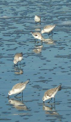 sand pipers on a northern california beach  @watercolorskyseaglass  #seaglasslove