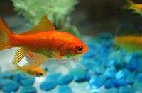 Goudvissen in een kom is dierenmishandeling. Beter is een vijver of groot aquarium.