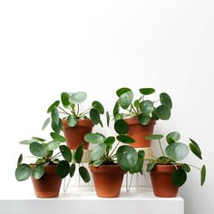 Pilea peperomioides (known as Chinese money plant, pancake plant, lefse plant)