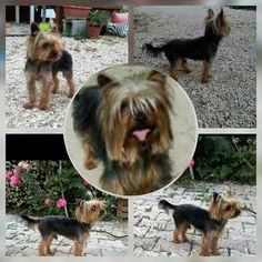 Pet Dogs, Pets, Yorkshire Terrier, Costa, Yorkies, Animals, Animals And Pets, Animales, Yorkie