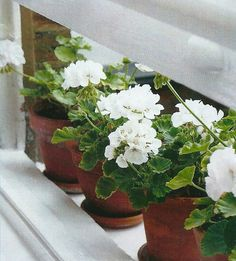 Nothing is more serene than a white geranium in a clay pot.