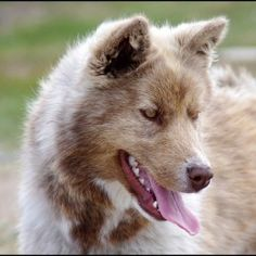 The Best Seven Dogs That Look Like Wolves