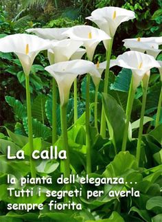 Outdoor Plants, Garden Plants, Zantedeschia Aethiopica, Bulb Flowers, Green Life, My Flower, Garden Inspiration, Vegetable Garden, Aloe