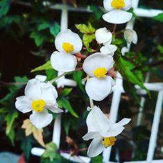 #бегонія #Натальська #begonia #natal #flowers #maTusy