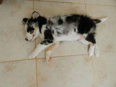 Teddy bear puppy #bearcub #bear #puppy #puppies #pup #bordercollie #bluemerletricolourbordercollie #bluemerle #blueeyes #dog #