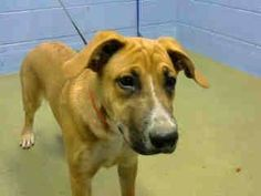 #A441547 Moreno Valley, CA female, tan German Shepherd Dog and Boxer. The shelter thinks I am about 6 months old I have been at the shelter since Oct 13, 2014 and I may be available for adoption on Oct 20, 2014 at 12:05PM.  ... City of Moreno Valley Animal Control Services. https://www.facebook.com/135559229932205/photos/a.136024659885662.29277.135559229932205/372961799525279/?type=3&theater
