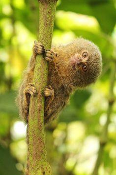 Pygmy Marmoset at the Yana Cocha Wildlife Center in Puyo, Ecuador