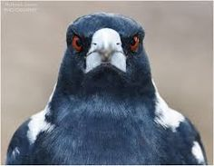 Image result for closeup magpie australian