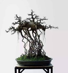 Such a strange composition, but cool too. I'd love to see this one inleaf. Photo by Hussien M. #bonsai
