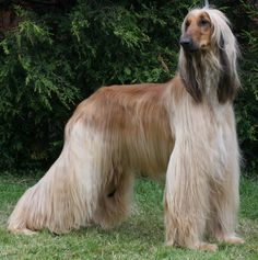 The super model of the dog world,Afghan hounds.