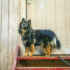 Keela the Finnish Lapphund is looking good on Pack. The Life, Dogs, Animals, Animales, Animaux, Pet Dogs, Doggies, Animal, Dog