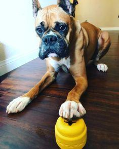 I will now destroy you! Boxer Dog Breed, Dog Modeling, Tgif, Dog Mom, Dog Days, Dog Breeds, Fancy, Pets