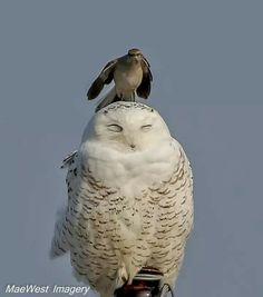 Snow owl with mocking bird sitting on its head